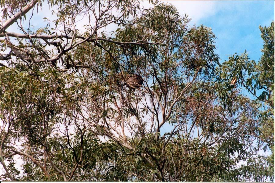KoalaInTree